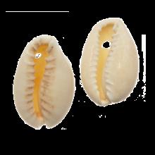 Kauri Muschelperlen (20 - 23 mm) Seashell (25 Gramm / ca. 16 Stück)