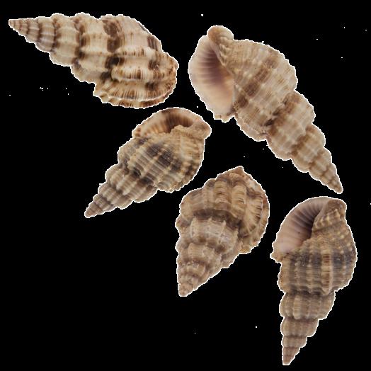 Muschelperlen (14 - 40 mm) 24 Stück
